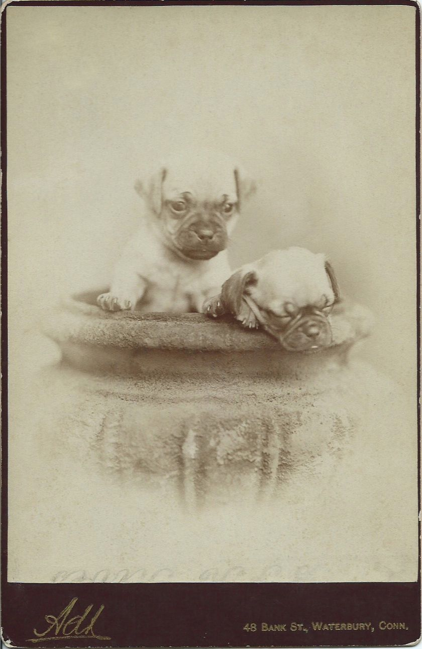 From bendale collection pug puppies dog photos animals