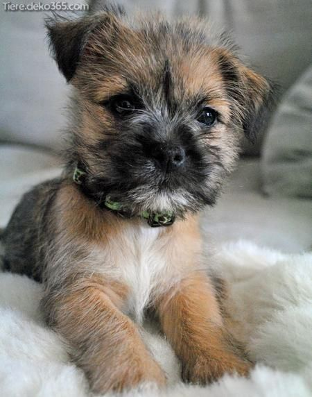 Cairn Terrier Welpen Hundebabys Cairn Terrier Welpen
