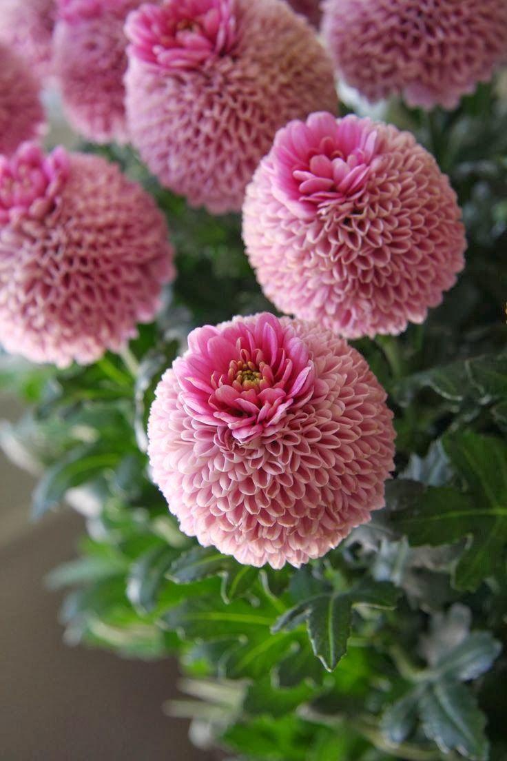 Chrysanthemum Crown Jenny Pink Unusual Flowers Beautiful Flowers Amazing Flowers