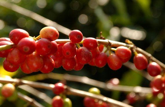 12 oz. Bag of Artisan Roasted Coffee Beans - El Pacayal San Miguel