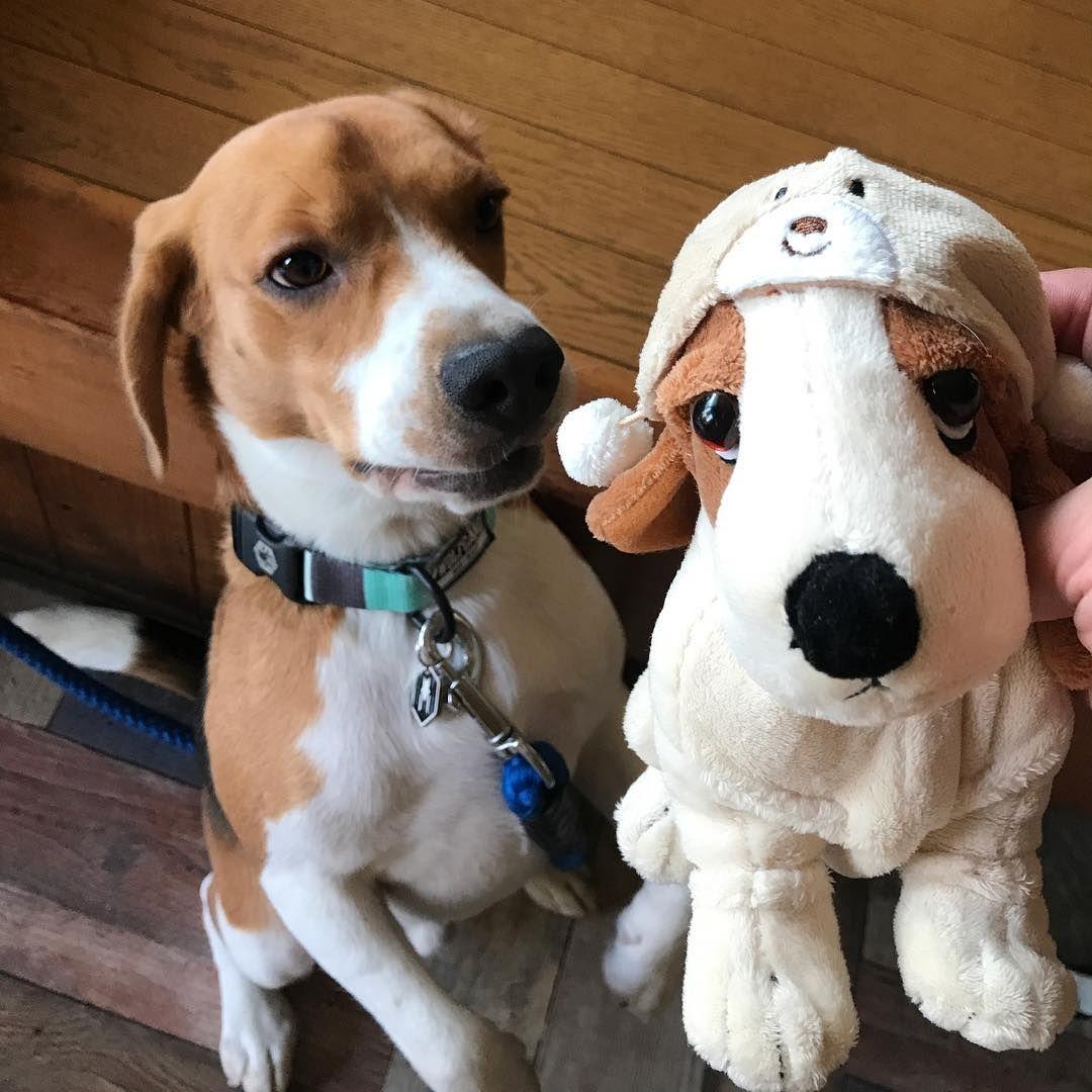 Huge Mini Me Beagle Dog Cat Doggy