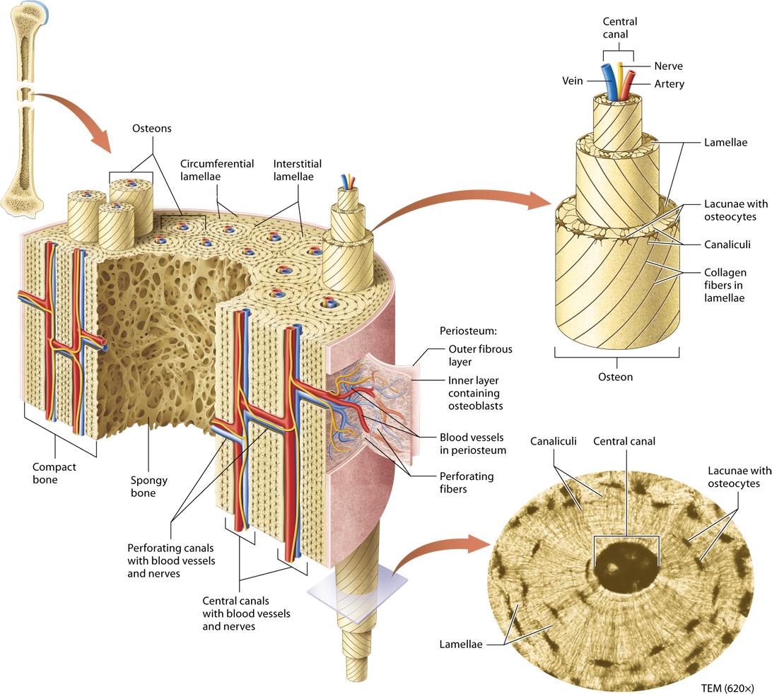 Module 6 2 Microscopic Structure Of Bone Tissue