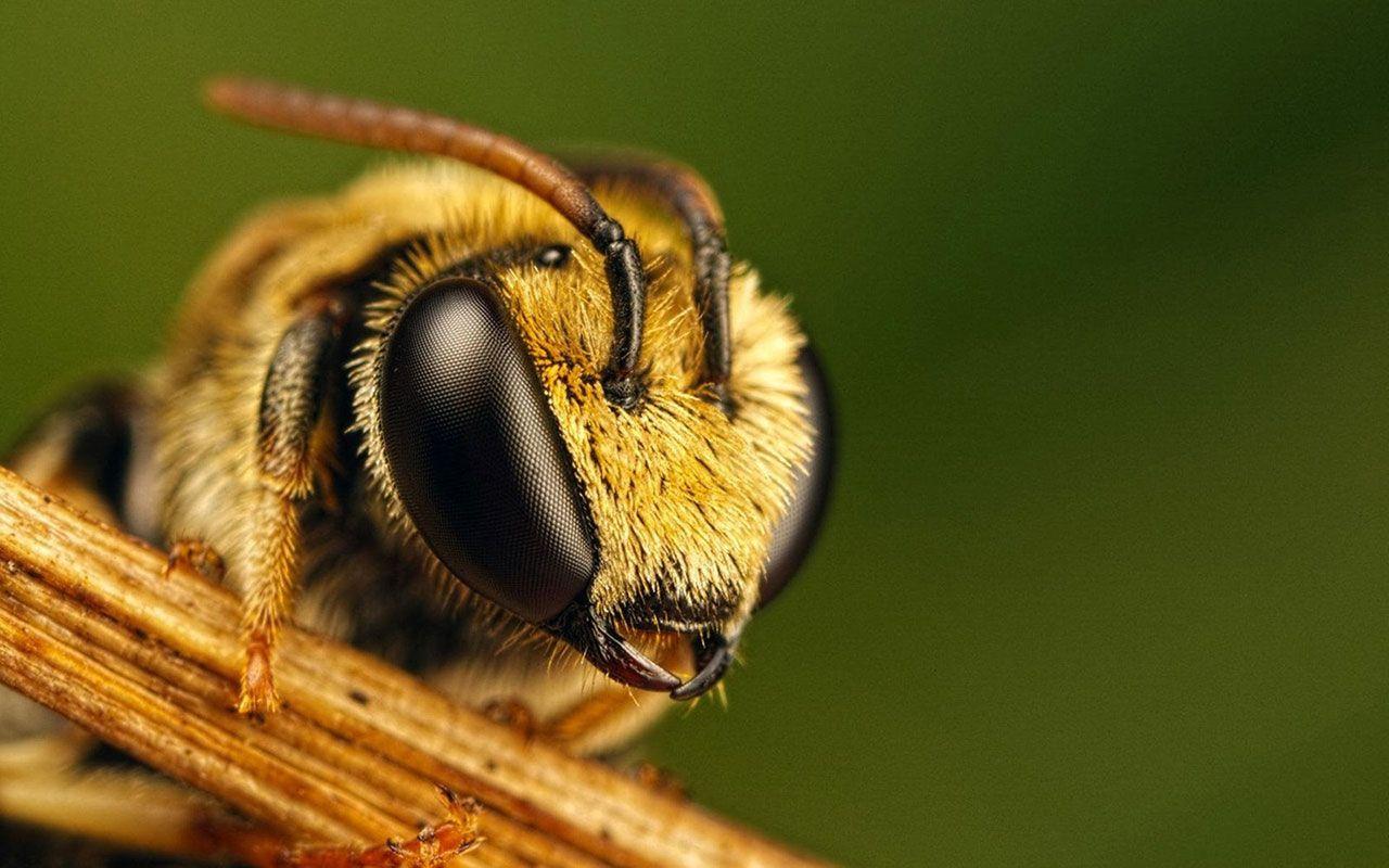 Bee Hd Wallpapers Cute Bee Animal Photography Bee