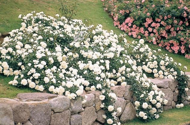 Varieties of White Garden Rose (With images) | White gardens ...