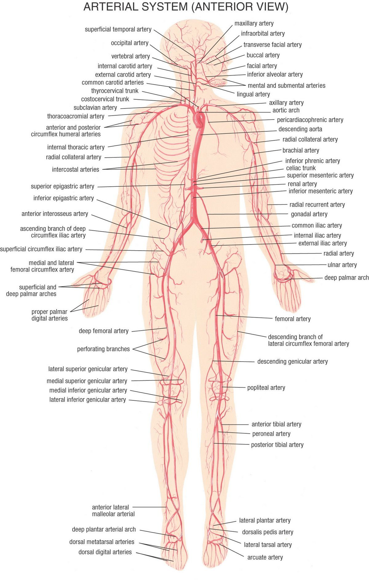 22_Arterial_System_Anterior_View.jpg 1,200×1,886 pixels | medical ...