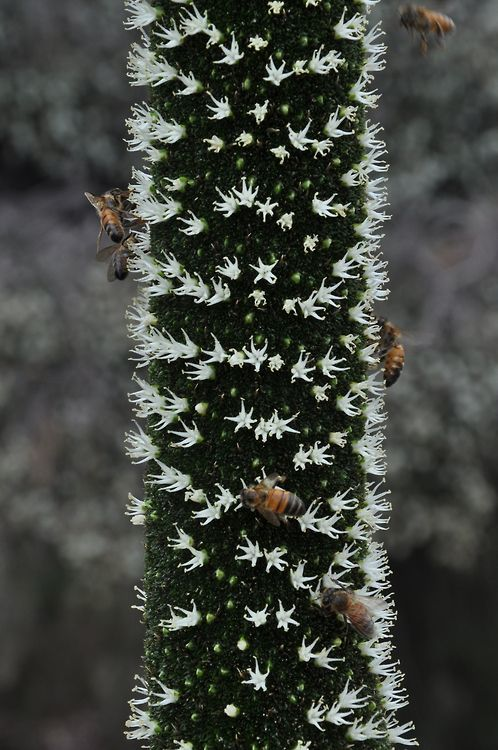 Xanthorrhoea. When The Flower Spike First Comes Out, It