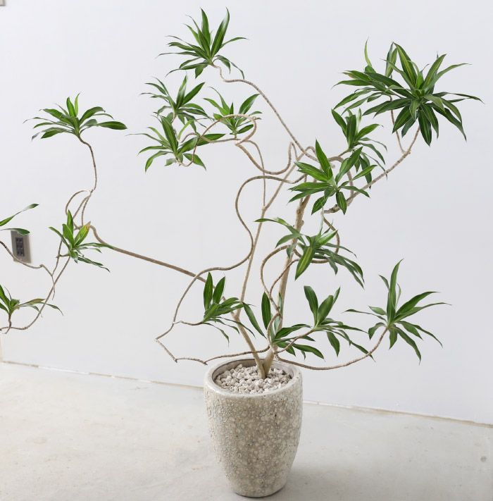dracaena reflexa cv song of jamaica you can find this plant