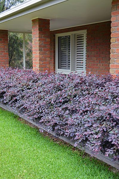 Loropetalum Plum Gorgeous Note Zone 7 Would Die Back To Roots In Zone 6 If Mulched Well Shrubs For Landscaping Front Yard Garden Garden Shrubs