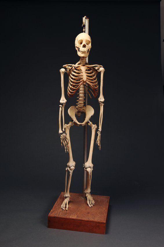 Articulated Female Human Skeleton On Custom Stand 56 142 Cm