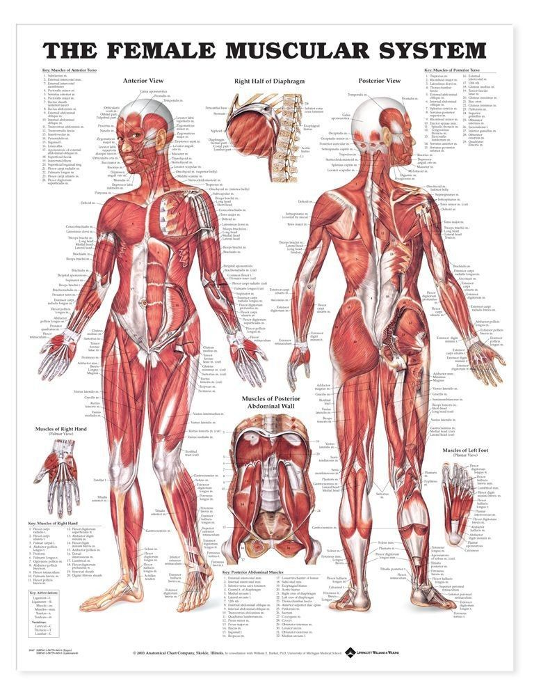 The Female Muscular System Anatomical Chart | Studio | Pinterest ...