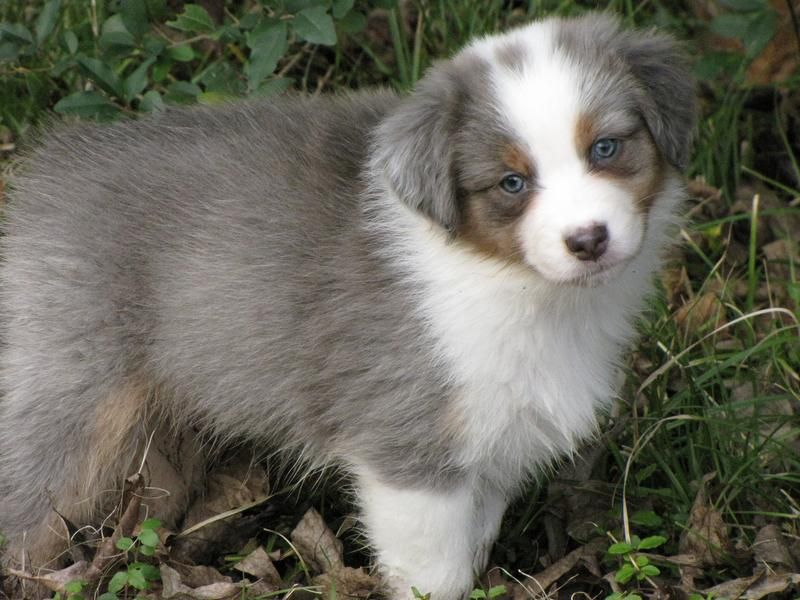 Dilution Gene Aussies Never Seen One This Color Aussie Dogs
