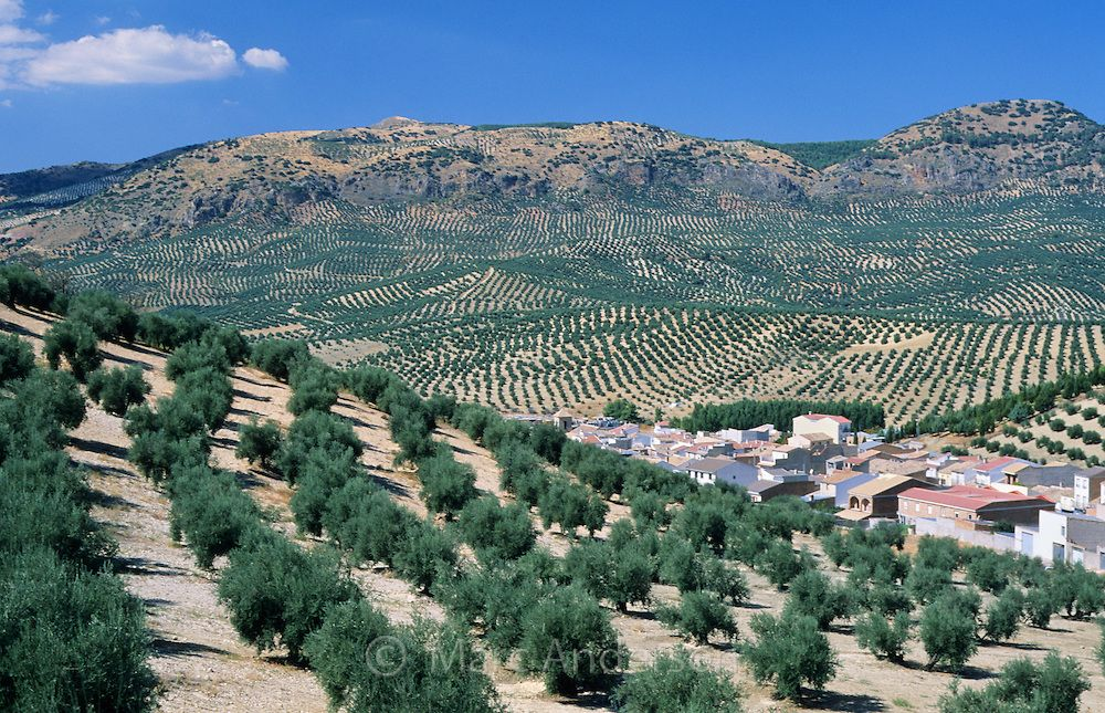 Image result for olive oil tree grove spain