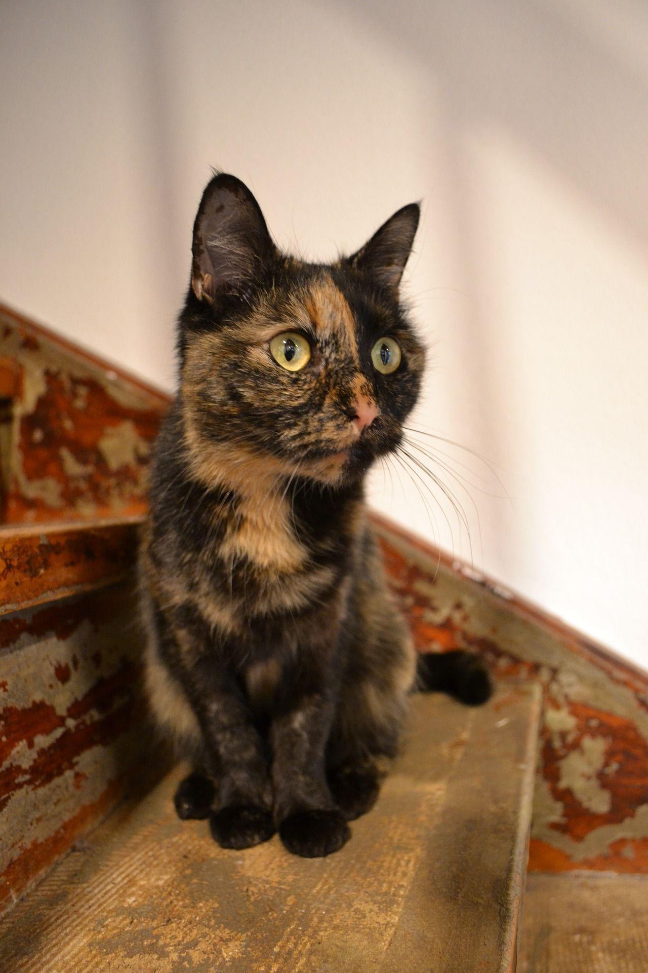 Beautiful Tricolor Cat Cat Beautiful Tricolorcat Cats Kitten Care Cat Run