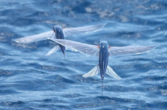 I Want To See Flying Fish Fly Endangered Animals Facts Weird Fish Endangered Animals