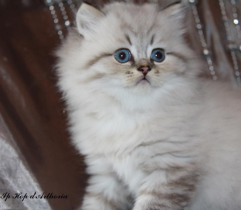 Adorable British Longhair Seal Tabby Point Kitten Baby