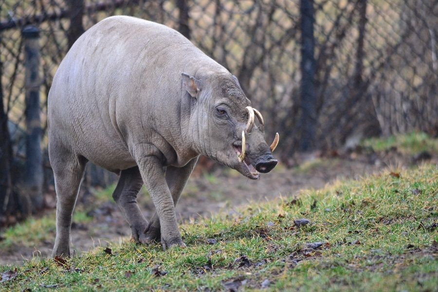 The Creature Feature: 10 Fun Facts About the Babirusa