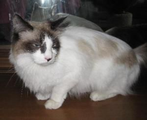 Beauty is an adoptable Ragdoll Cat in Rochester Hills, MI  PURRS