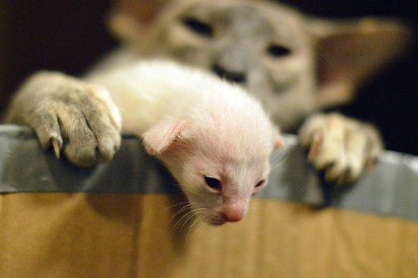 A 1 Week Old Siamese Baby Kitten Trying To Escape Baby Kittens Siamese Cats Kitten