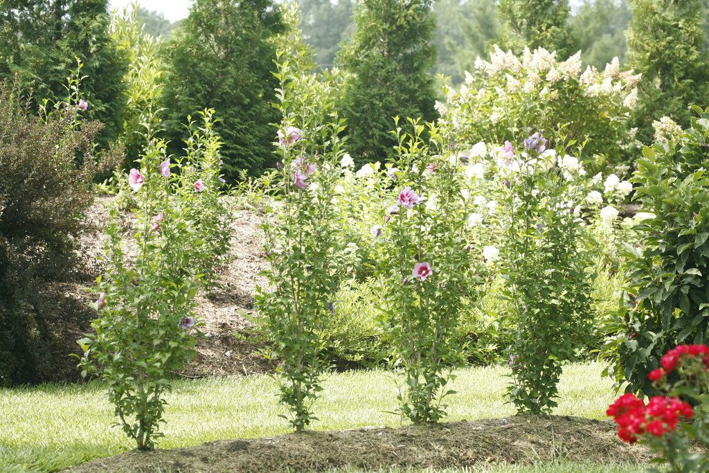 Purple Pillar Rose Of Sharon Hibiscus Syriacus With Images