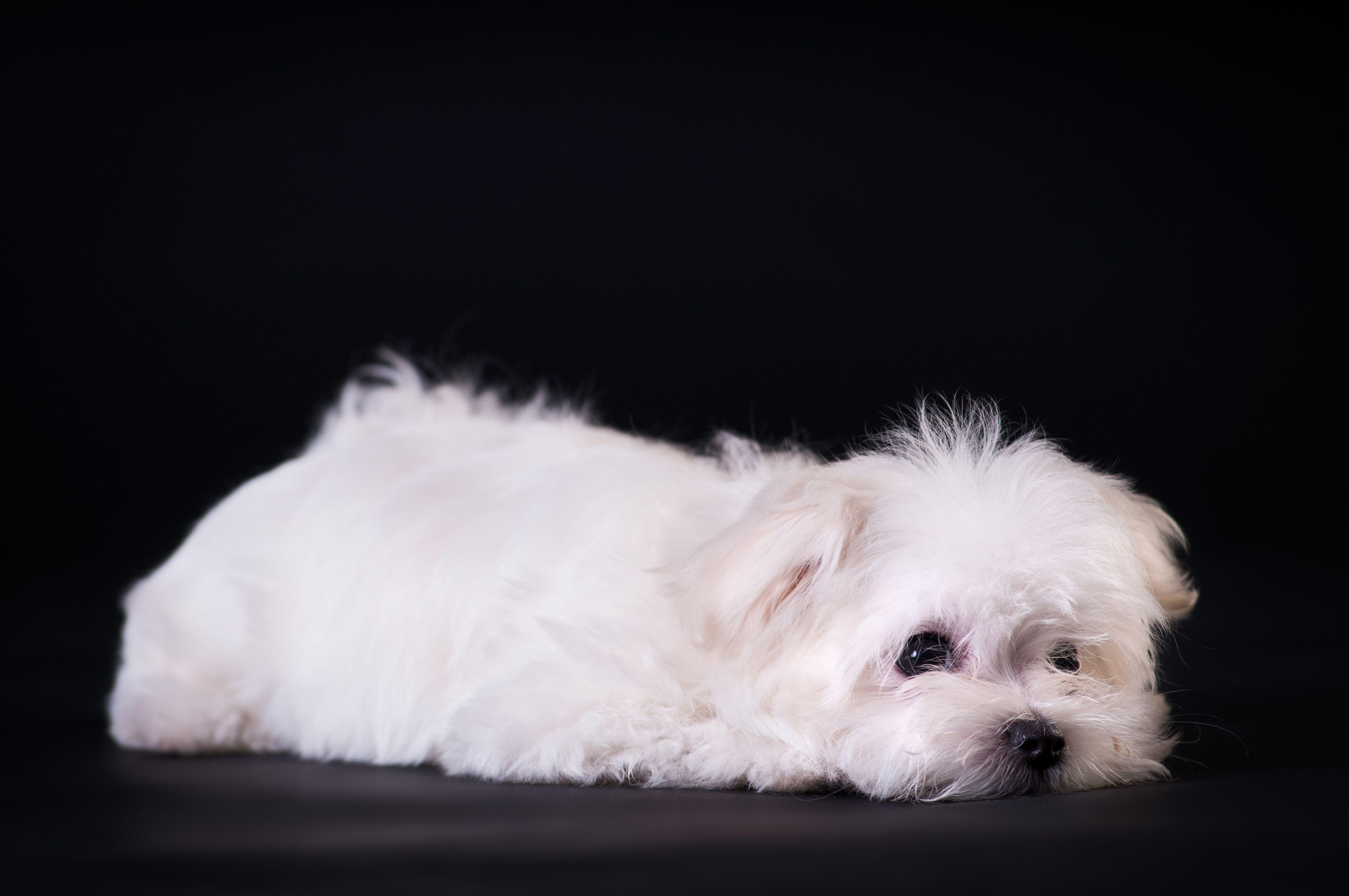 Look At This Beautiful Dark Eyes Maltese Puppy Maltese Puppy