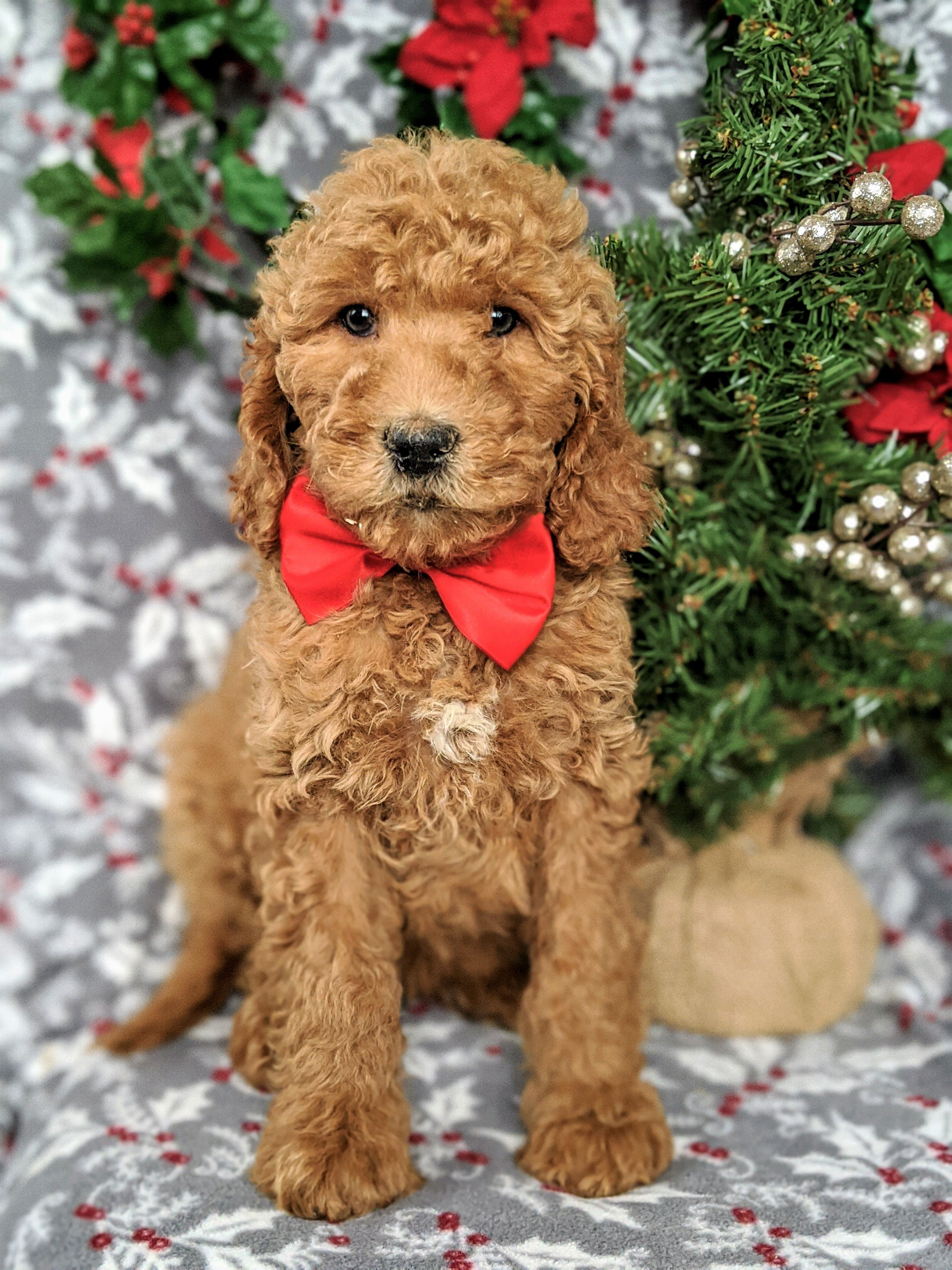 Goldendoodle puppies for sale goldendoodle puppy for