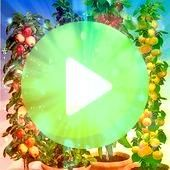 fruiting and care for pillared fruit  Ronny is telling you  39 Column Fruit Rarity Collection 4 plants  39 Correct fruiting and care for pillared fruit  Ronny is telling...