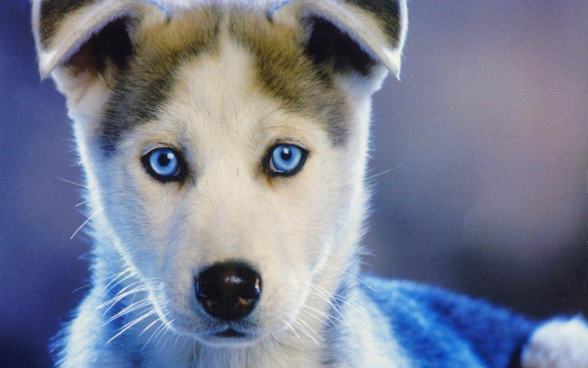 Pix For > Baby White Husky Blue Eyes | -- husky -- | Cute ...