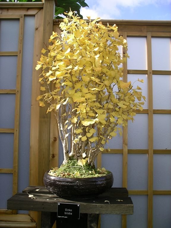 Ginkgo biloba Oct 2005 from google search. note the dark glazed pot and candle flame style.