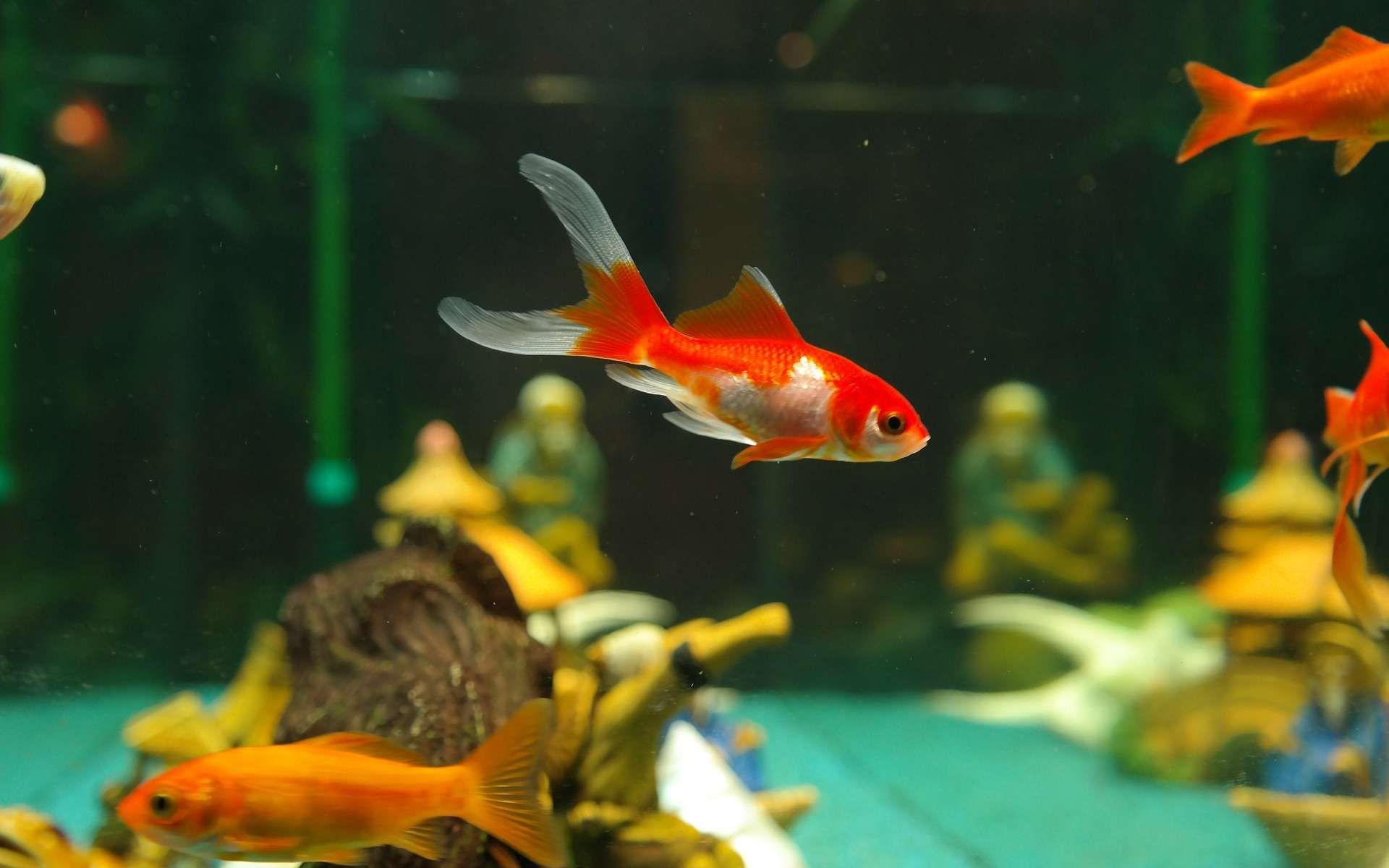 enregistrer fond ecran de poisson rouge qui bouge - Recherche Google | Poisson rouge, Poisson ...