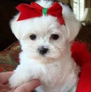 Maltese Puppies For Sale In Houston Tx Cute Puppies Teacup Puppies Teacup Puppies Maltese Teacup Yorkie Puppy