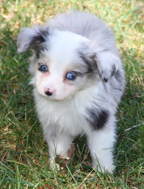 Pin On Blue Merle Toy Aussie Puppies In Co Pa Ri Sc Sd Tn Tx