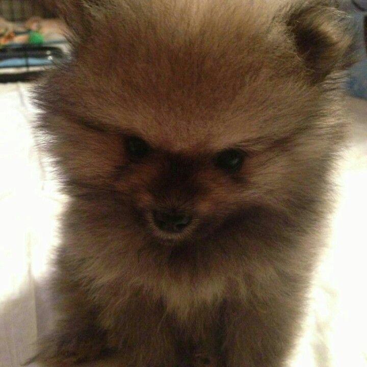 Pomeranian Puppies For Sale Jackson Tn 2021