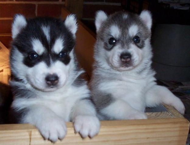 Husky Siberian De Vanzare Interactive Dog Toys Tough Dog Toys Dogs