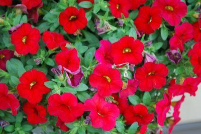 Ball Horticultural Calibrachoa Bright Red Cabaret Series