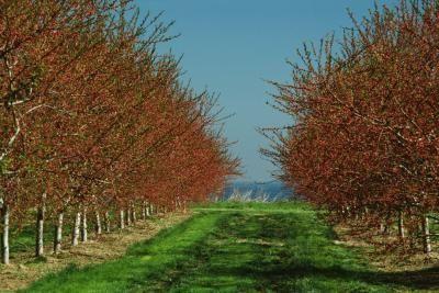 How To Grow Rainier Cherry Trees Ehow Rainier Cherries Chokecherry Tree Tree Care