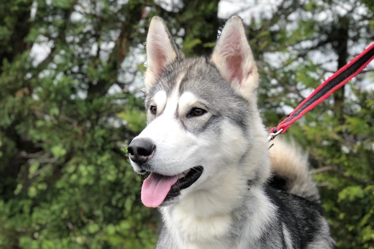 Phoenix Dogs Huskies Malamutes In Rescue Dogs Trust Dogs