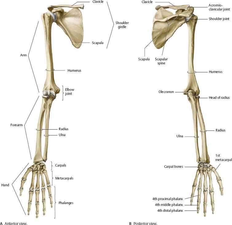 Arm And Shoulder Bones Anterior View And Posterior View Anatomy