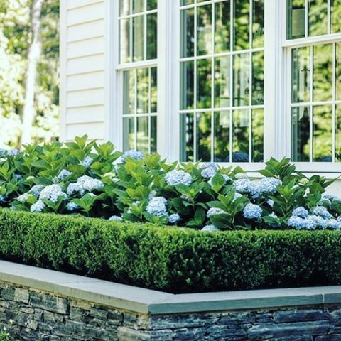 Front Hydrangea And This Box Hedge Frames The Garden Bed Perfectly Hydrangea Landscaping Front Yard Landscaping Boxwood Landscaping