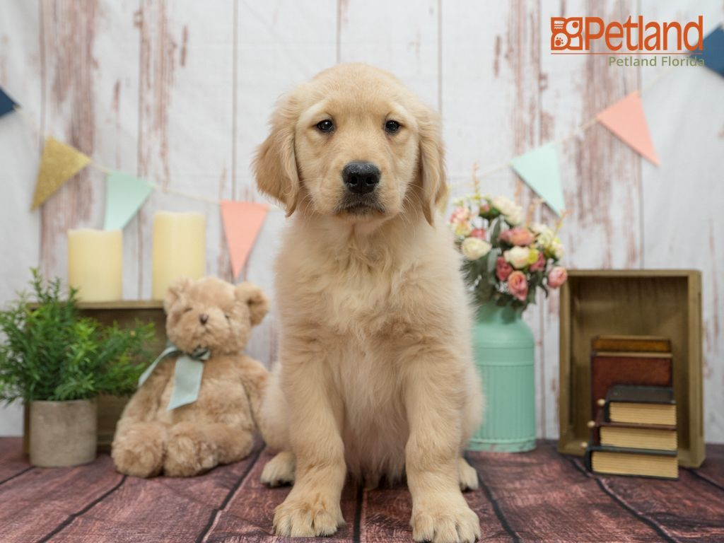 Petland Florida Has Golden Retriever Puppies For Sale Check Out All Our Available Puppies Goldenretriever P In 2020 Puppy Friends Golden Puppies Golden Retriever