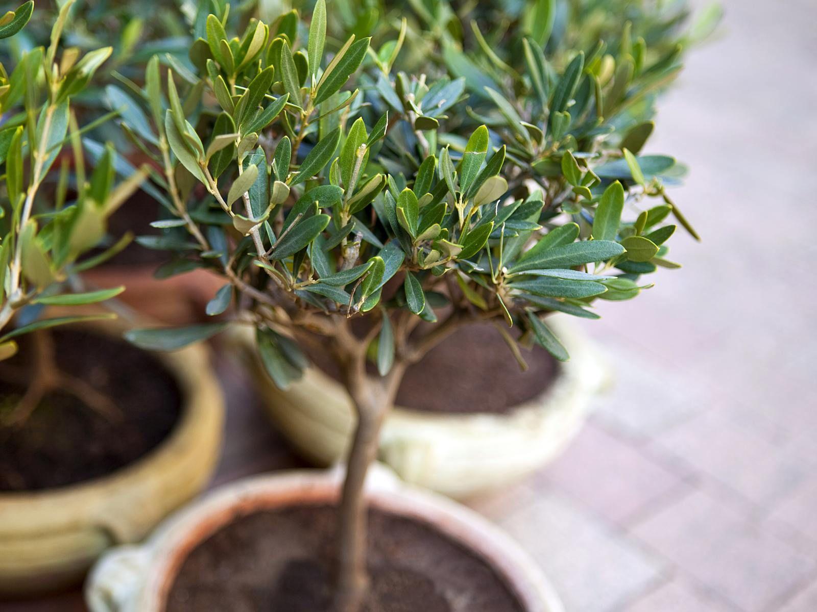 Olivenbaum Uberwintern 10 Tipps Zur Richtigen Pflege In 2020 Olivenbaum Uberwintern Olivenbaum Mediterrane Pflanzen