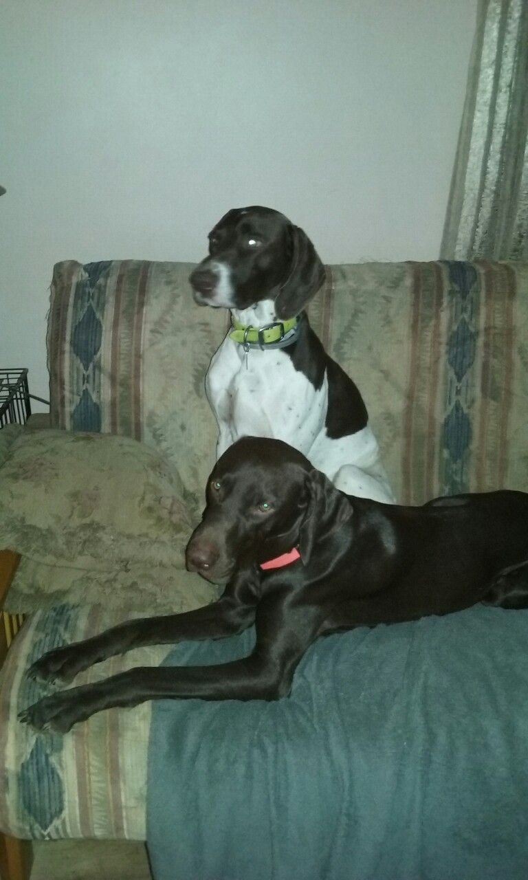 Our two handsome GSP\'s, Scooter & Remi. | German Shorthaired ...
