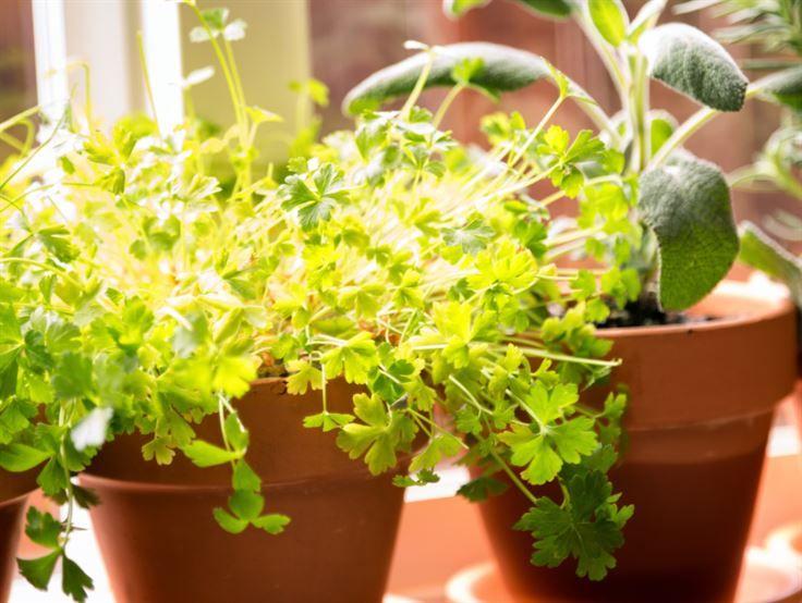 Odla persilja! Har du ingen trädgård kan du odla kryddor i krukor eller lådor under hela säsongen.