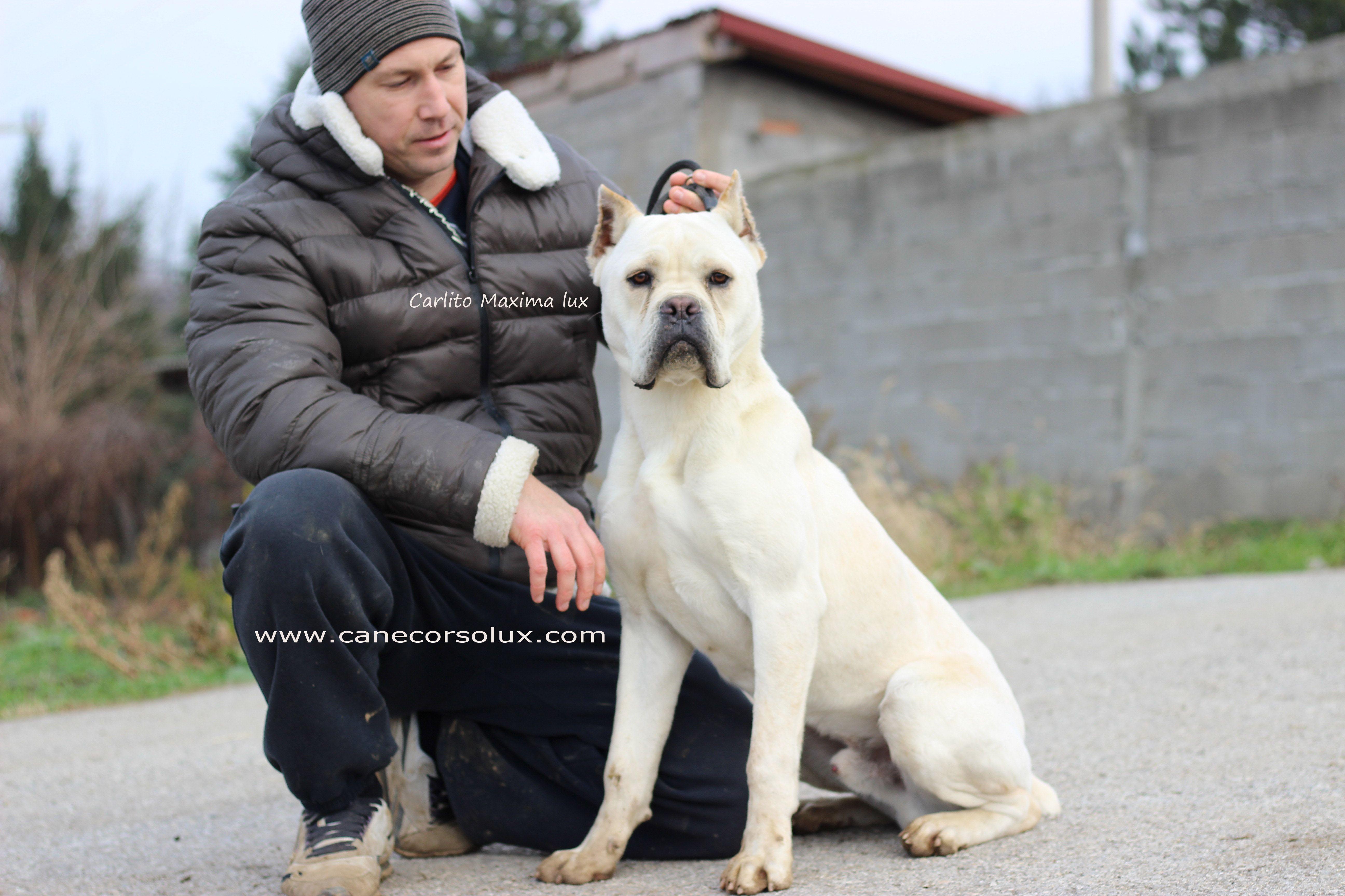 Cane Corso Europe Cane Corso Cane Corso Puppies Puppy Kennel