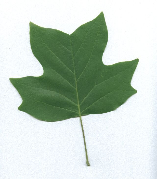 How You Can Identify The Yellow Poplar Tree In The Wild Tree