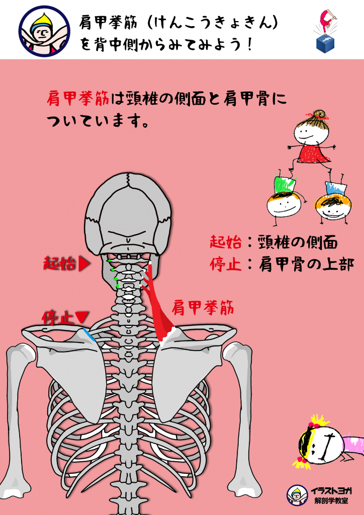 解剖学 イラスト 肩甲挙筋けんこうきょきん Scapulaanatomyyoga