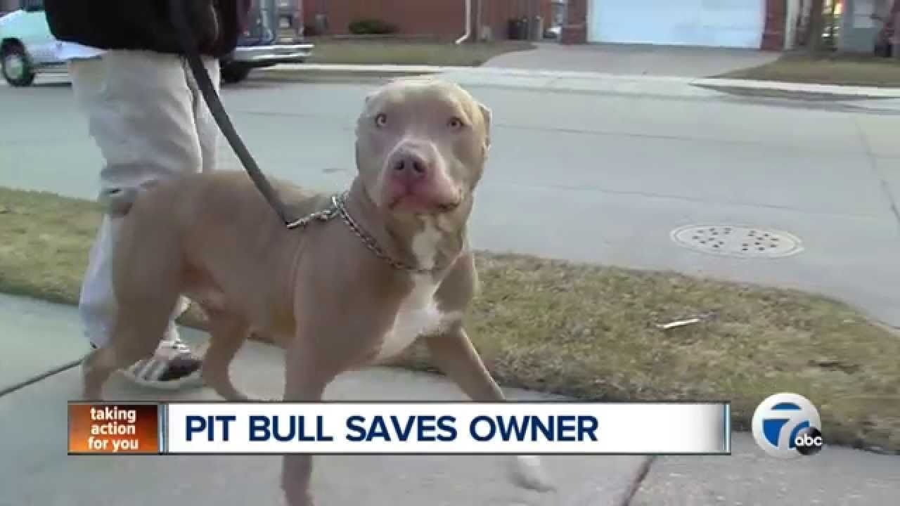 Pitbull Saves Owner From Coma Pitbulls Service Dogs Pitties