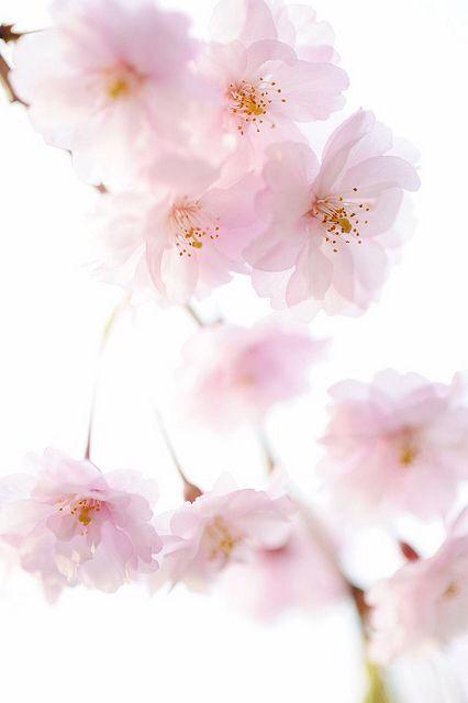 98e2100318 Pastel pink blossom   Inspiration   flowers   Flowers, Cherry ...