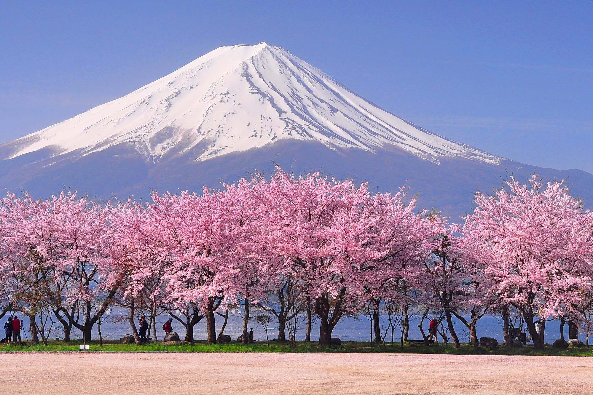 Interactive Map Reveals The Best Time To See Japan S Cherry Blossoms Cherry Blossom Cherry Blossom Tour Cherry Blossom Japan