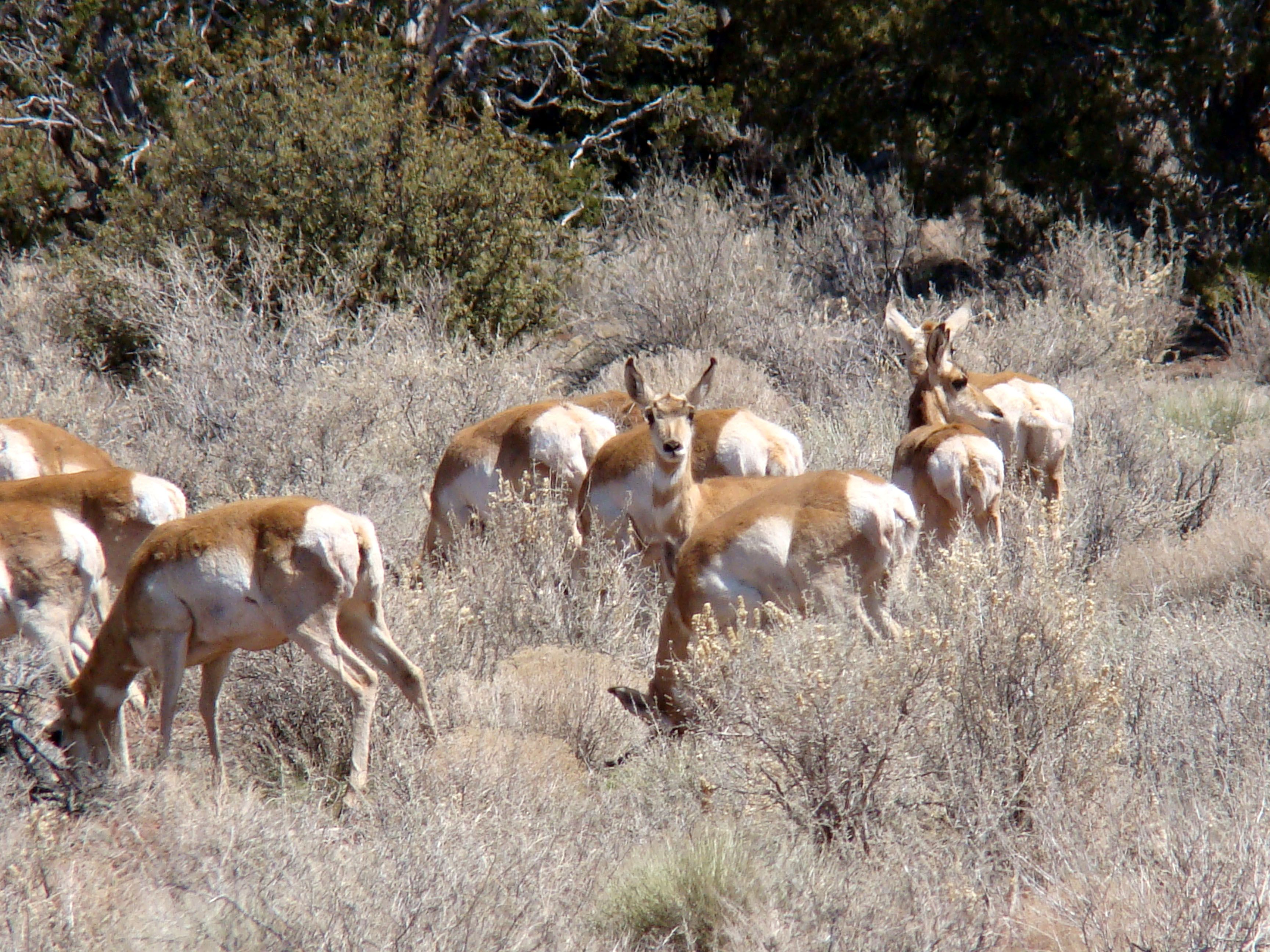 A herd of antelope seen in Kaibab National Forest