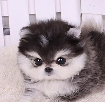 adorable, baby, black and white, cute, cutie, dog, fluffy ...